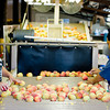 Lucy Ramires and Blanca Torres pick out the soft peaches while working at McPeak Orchards in Pittsburg on Wednesday, June 20, 2012. (Michael Cavazos/News-Journal Photo)
