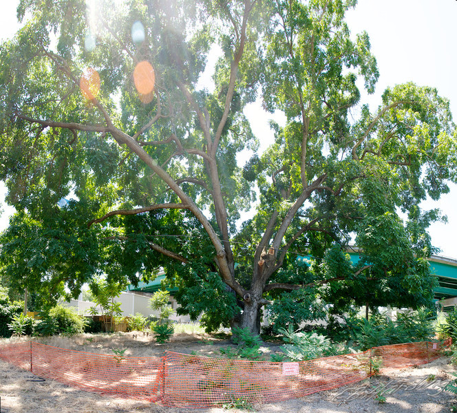Largest tree of its kind, to be cut down  Butternut Tree