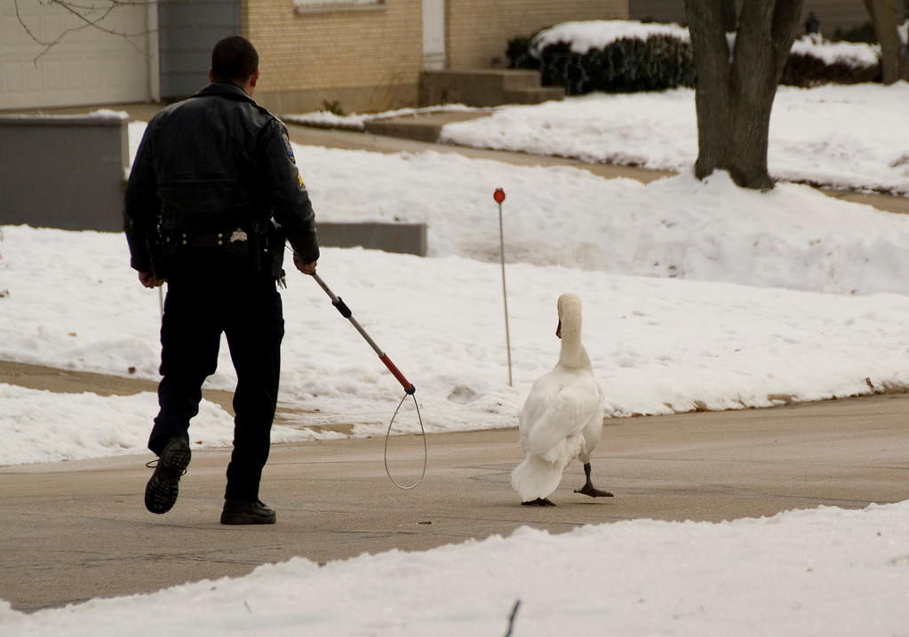 Notice, the Ninja-Swan never let the officer out of his sight....here, checking his left rear...