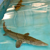 "Two pallid sturgeons, referred to by Neosho National Fish Hatchery Acting Manager Roderick May as ""iiving dinosaurs"" swim in a tank inside a secure, alarmed buiding on Wednesday at the hatchery. The endangered fish are believed to be one of the oldest species on earth, remaining relatively unevolved for 60 to 65 million years. The hatchery houses 29 of the few thousand believed to remain in existence.<br /> Globe 