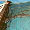 "Three pallid sturgeons, referred to by Neosho National Fish Hatchery Acting Manager Roderick May as ""iiving dinosaurs"" swim in a tank inside a secure, alarmed buiding on Wednesday at the hatchery. The endangered fish are believed to be one of the oldest species on earth, remaining relatively unevolved for 60 to 65 million years. The hatchery houses 29 of the few thousand believed to remain in existence.<br /> Globe 