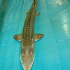 "A pallid sturgeon, referred to by Neosho National Fish Hatchery Acting Manager Roderick May as ""a iiving dinosaur"" swims in a tank inside a secure, alarmed buiding on Wednesday at the hatchery. The endangered fish are believed to be one of the oldest species on earth, remaining relatively unevolved for 60 to 65 million years. The hatchery houses 29 of the few thousand believed to remain in existence. The fish, who have a life expectancy of 70 to 75 years, only spawn every three to five years, and with no guaranteed results. Poachers have contributed to the species demise, with the processed caviar from the fish selling for as much as $300 per ounce.<br /> Globe 