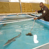 Roderick May, acting manager of the Neosho National Fish Hatchery, sweeps a tank containing several endangered pallid sturgeon on Wednesday in Neosho. May, who has been at the Neosho hatchery for 17 years, hopes to become permanent manager of the hatchery and continue the pallid sturgeon species recovery program. The Neosho hatchery holds 29 of only a few thousand pallid sturgeon in existence. <br /> Globe | Laurie Sisk