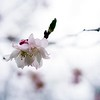 BEN GARVER — THE BERKSHIRE EAGLE<br /> Cherry blossoms bloon at the Berkshire Botanical Garden. The landscape at the Berkshire Botanical Garden is budding and blossoming into spring and out of winter,  Monday, April 27, 2020.