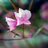 BEN GARVER — THE BERKSHIRE EAGLE<br /> The landscape at the Berkshire Botanical Garden is budding and blossoming into spring and out of winter,  Monday, April 27, 2020. a rhododendron blossoms near the pond.