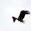 BEN GARVER — THE BERKSHIRE EAGLE<br /> A bald eagle along the tree tops near Onota Lake in Pittsfield Monday, May 11, 2020.