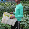 Lynn, Ma. 8-8-17. J. C. Reynoso hauls freshly picked cucumbers from the community garden at the Ingalls School in Lynn. The garden yields 20,000 pounds of food per years.