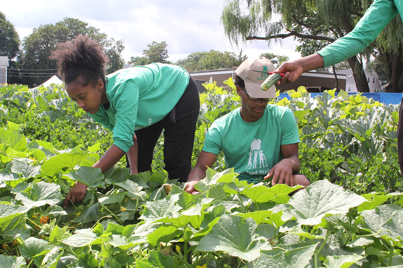 Lynn, Ma. 8-8-17. Rediet Habtegebriel, left, and Alix Pierre- Toussaint Jr. pick cucumbers at the community garden at the Ingalls School in Lynn. The garden yields 20,000 pounds of food per year.