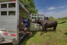Bear the Water Buffalo is 'eased' into a trailer at Bolton Rd & West Princweton Rd in Westminster byhandler Ryan MacKay after getting out of his pen at Wachusett Mt during the Farm Fresh Festival.  Handler Tom Corbett, also of Lilac Hedge Farm holds the door open.