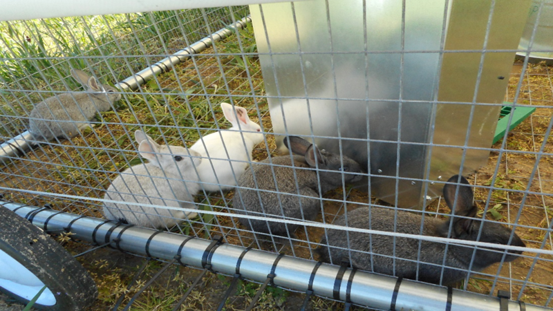 Pasture-raised rabbits at VSU Randolph Farm