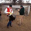 Turkey research and management. Tagging turkeys on the Lyle Allen Ranch along the White River, northeast of Chadron in Dawes County. Dale Sheldon (red vest) Lon Lemmon (green jacket), and Dean Studnicka (inside enclosure), all of Crawford, survey birds and record information. Grier, Feb. 1996. Copyright NEBRASKAland Magazine, Nebraska Game and Parks Commission.