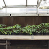 Greenhouse cassava in pots