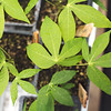 Greenhouse cassava in trays