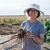 RIPE Postdoctoral Researcher Yu Wang holds a cassava root that is part of a study examining the photosynthetic differences amongst varieties of cassava. This tropical root crop sustains millions across the world, particularly in Sub-Saharan Africa where is accounts for more than half the calories in many people's diets.