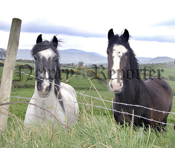 Horses gaze over a fence in the South Armagh Country side, 05W16S59.