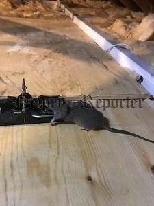 R1926144 rats .jpg