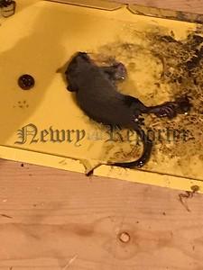 R1926142 rats .jpg