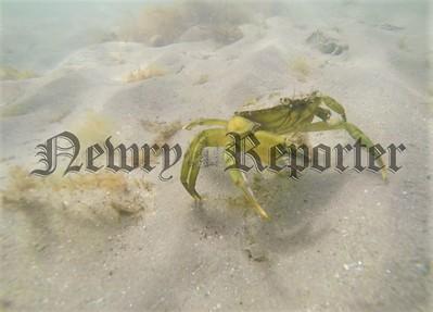 R1936109 green crab