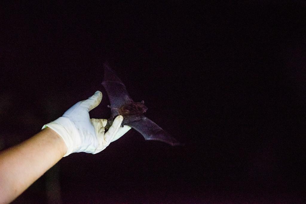 Ocmulgee_Bats