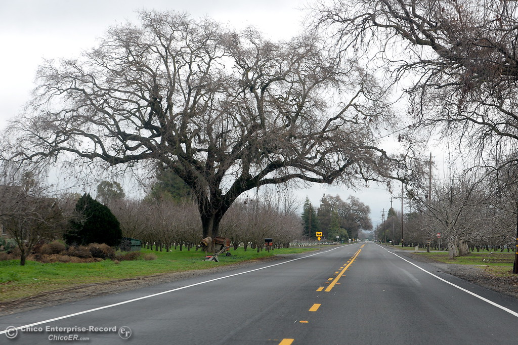. The City of Trees, boasts many magnificent specimens like this one seen along Chico River Road in Chico, Calif. Wed. Jan. 10, 2018.  (Bill Husa -- Enterprise-Record)