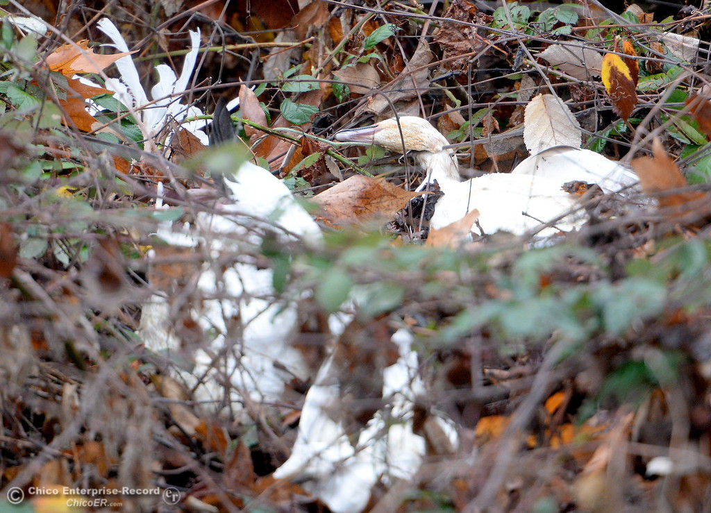 . About 10 dead white birds are seen in the bushes at a turnout on River Road in Chico, Calif. Wed. Jan. 10, 2018.  (Bill Husa -- Enterprise-Record)