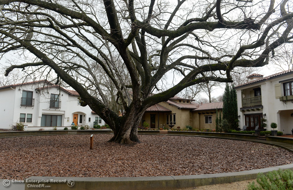 . A magnificent Bastogne Walnut Heritage Tree is seen along E. 8th St. in Chico, Calif. Wed. Jan. 10, 2018.  (Bill Husa -- Enterprise-Record)