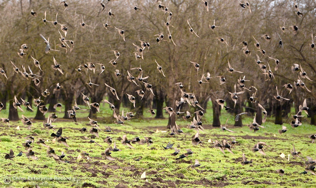 . A flock of birds swirl in unison near an orchard along Chico River Road in Chico, Calif. Wed. Jan. 10, 2018.  (Bill Husa -- Enterprise-Record)