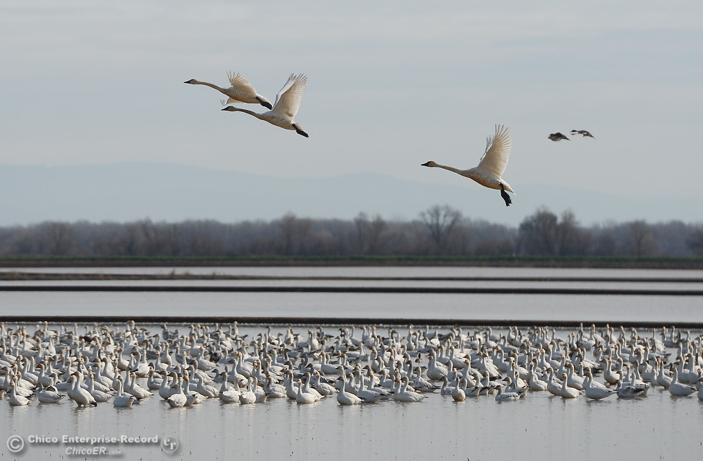 . Tundra swans flying above snow geese during the Snow Goose Festival Saturday, January 27, 2018, in Chico, California. (Carin Dorghalli -- Enterprise-Record)