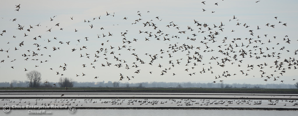 . Snow geese taking off during the Snow Goose Festival Saturday, January 27, 2018, in Chico, California. (Carin Dorghalli -- Enterprise-Record)