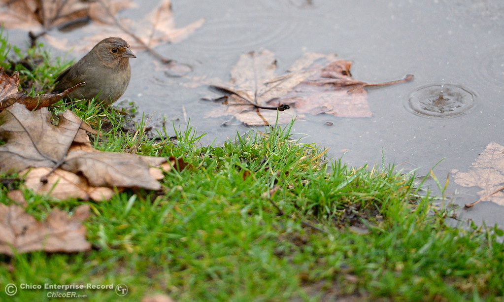 . A bird looks cold as it stands by a puddle near Five Mile Recreation Area in Bidwell Park as a storm rolls through Chico, Calif. Wed. Jan. 24, 2018.  Bill Husa -- Enterprise-Record)