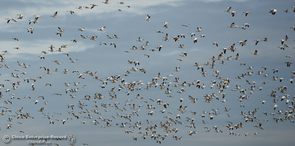 . Snow geese during the Snow Goose Festival Saturday, January 27, 2018, in Chico, California. (Carin Dorghalli -- Enterprise-Record)