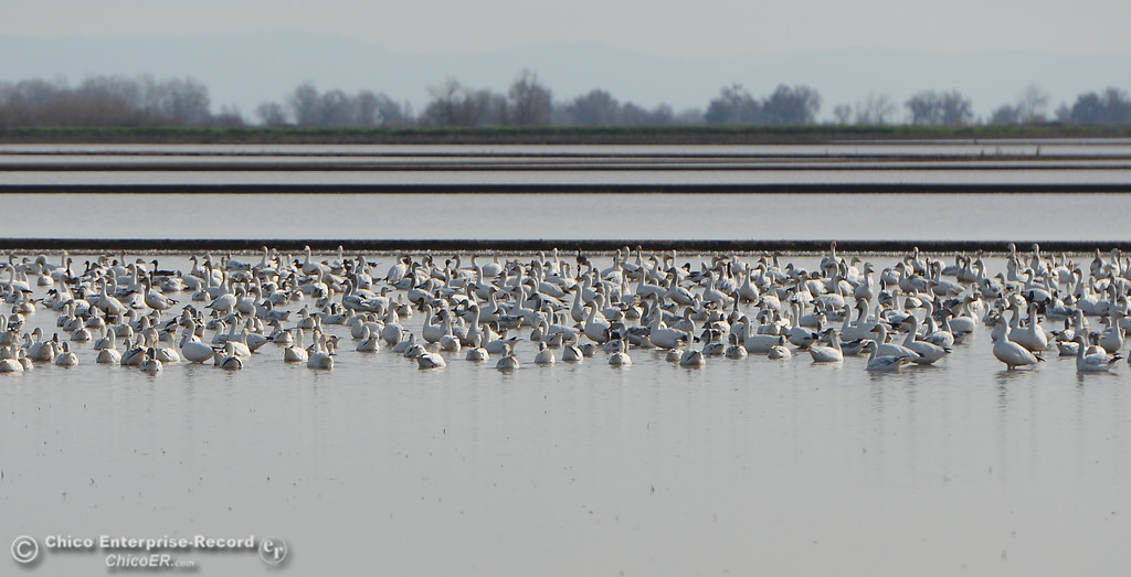 . Snow geese resting during the Snow Goose Festival Saturday, January 27, 2018, in Chico, California. (Carin Dorghalli -- Enterprise-Record)