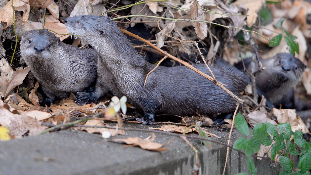. Wet and Wild- A family of four river otters are spotted by a pair of hikers trying to make their way around the inflatable dam into Sycamore Pool in Bidwell Park Friday Jan. 5, 2018.  (Bill Husa -- Enterprise-Record)