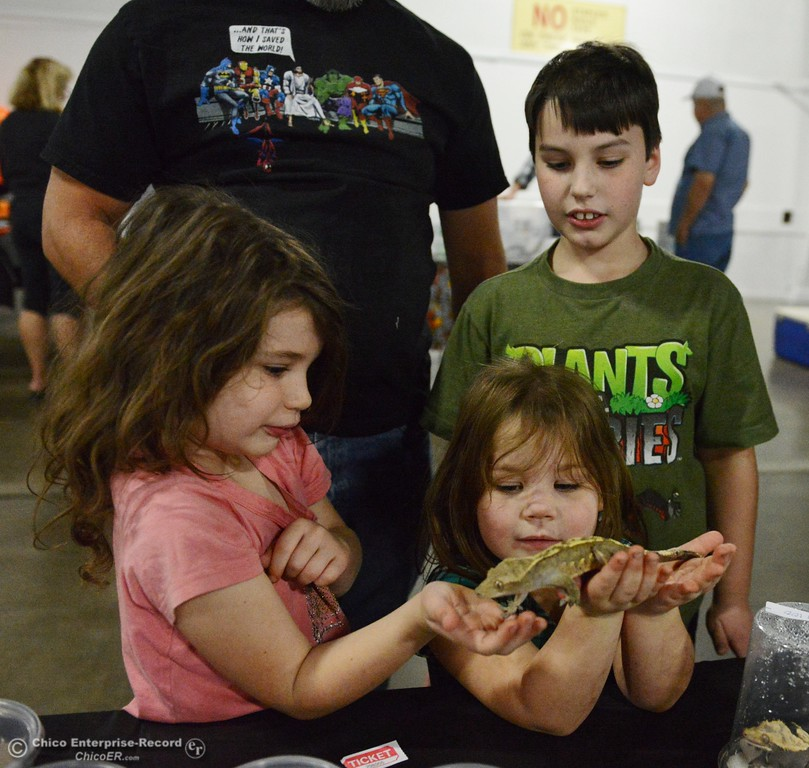 . Grace Lang, 4, holds a crested geiko as it crawls into her sister Arabella\'s hand and brother Aiden looks on at the Chico Reptile Show Saturday October 14, 2017 at the Silver Dollar Fairgrounds in Chico, California. (Emily Bertolino -- Enterprise-Record)