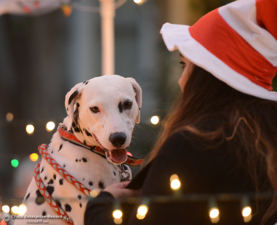 . A dalmatian with Wags And Whiskers Pet Rescue sits on a float during the 28th annual Chico Parade of Lights Saturday October 7, 2017 in Chico, California. (Emily Bertolino -- Enterprise-Record)