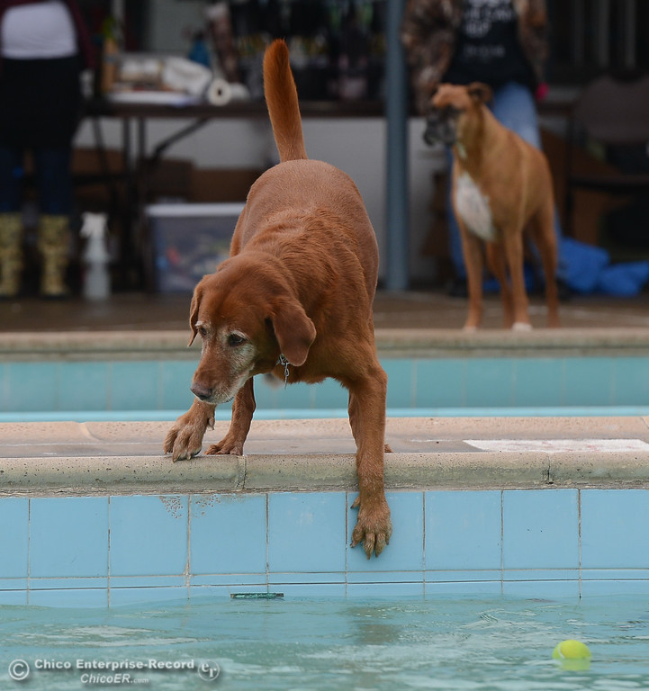. Dogs play games and enjoy water play at Shapiro Pool during 4th annual Soggy Dog Day, a dog fundraiser and free pet health fair Saturday November 4, 2017 in Chico, California. (Emily Bertolino -- Enterprise-Record)
