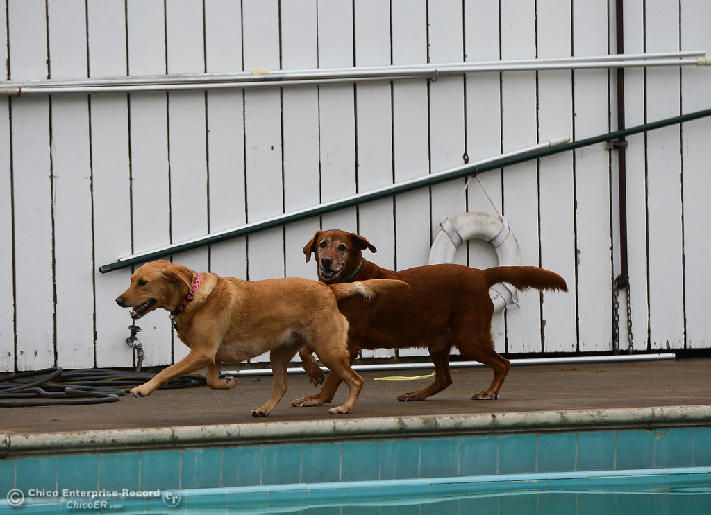. Dogs race around Shapiro Pool during 4th annual Soggy Dog Day, a dog fundraiser and free pet health fair Saturday November 4, 2017 at Shapiro Pool in Chico, California. (Emily Bertolino -- Enterprise-Record)