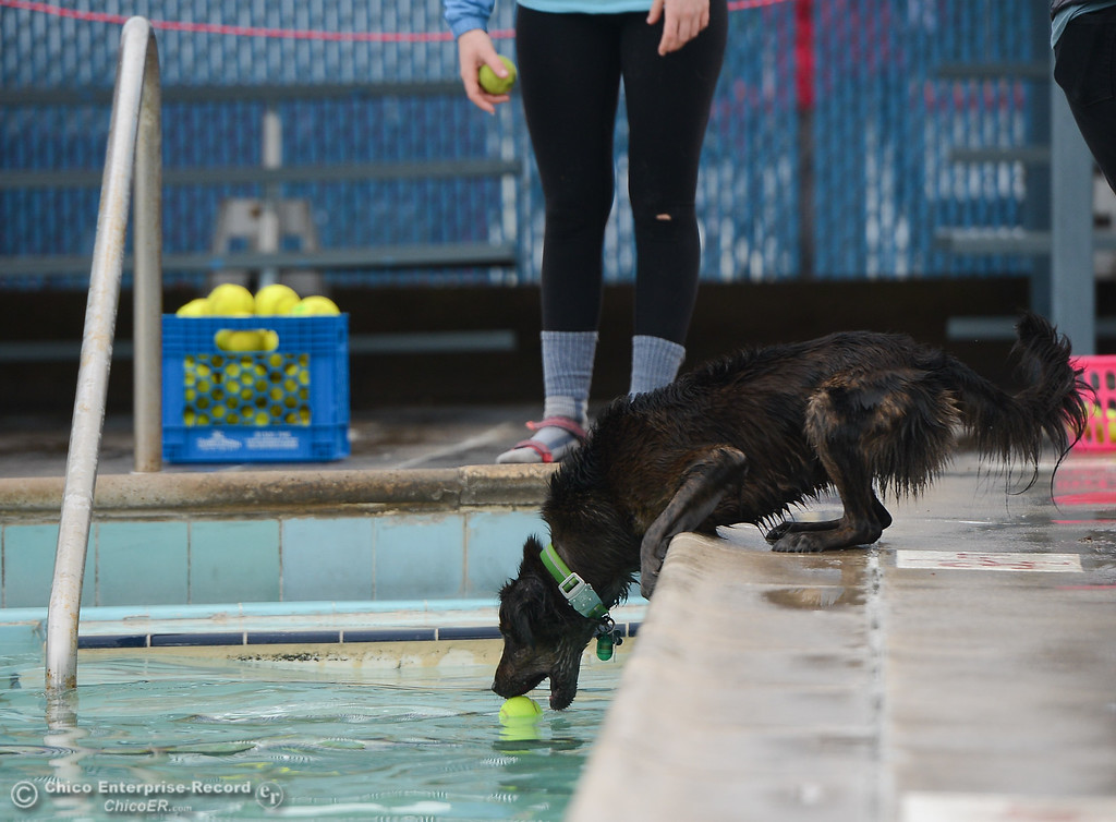 . Trying not to have to jump in, this dog strains for the ball as dogs play games and enjoy water play at Shapiro Pool during 4th annual Soggy Dog Day, a dog fundraiser and free pet health fair Saturday November 4, 2017 in Chico, California. (Emily Bertolino -- Enterprise-Record)
