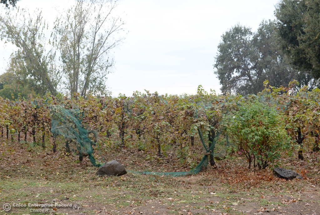 . A few grapes can still be found on the vines at Gale Vinyards in Durham, Calif. Fri. Nov. 3, 2017. (Bill Husa -- Enterprise-Record)