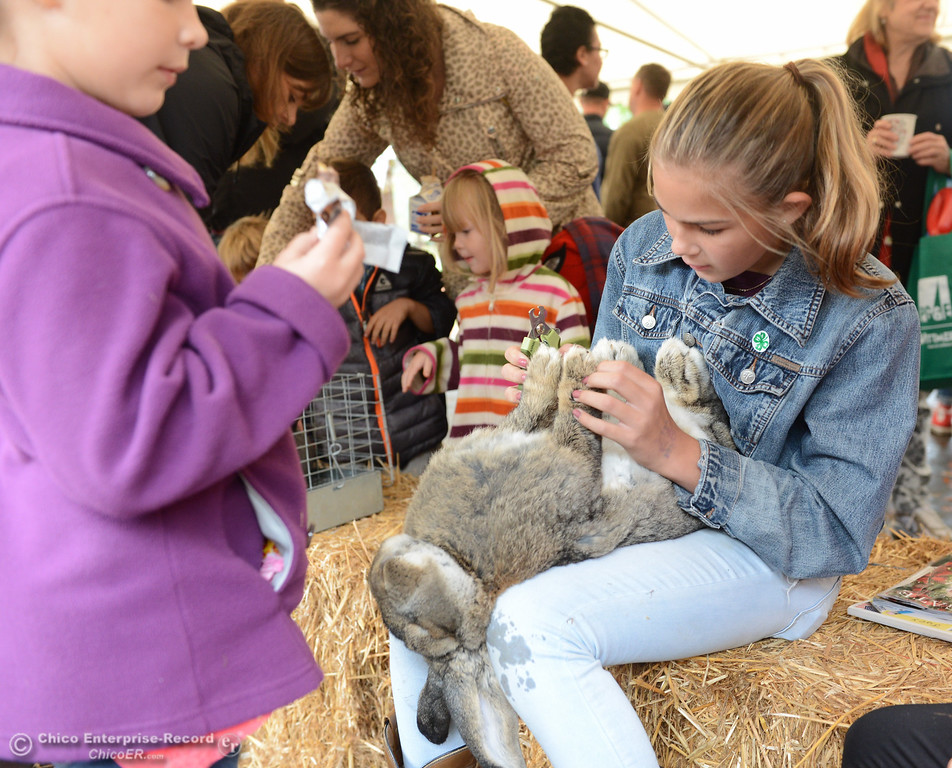 . Emery Doornbos, 13, demonstrates how to clips a relaxed rabbits nails during the Farm City Celebration Harvest Festival Saturday November 4, 2017 at the Bidwell Mansion in Chico, California. (Emily Bertolino -- Enterprise-Record)