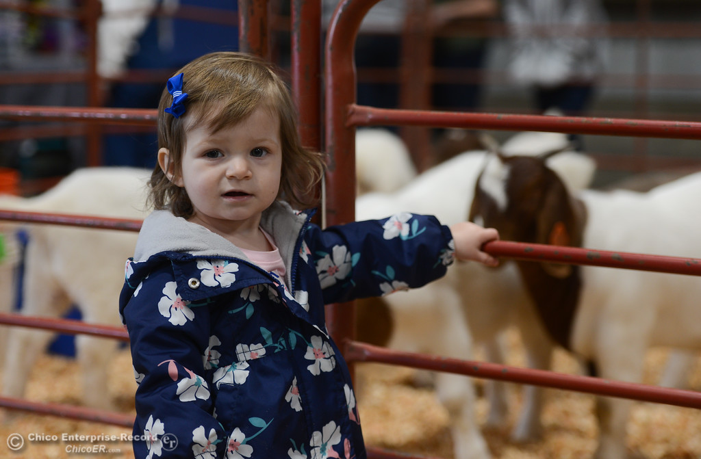 . Hadleigh Gladman stands by a sheep pen during Chico State Farm\'s Sheep and Goats Education Day, Saturday, February 10, 2018, in Chico, California. (Carin Dorghalli -- Enterprise-Record)