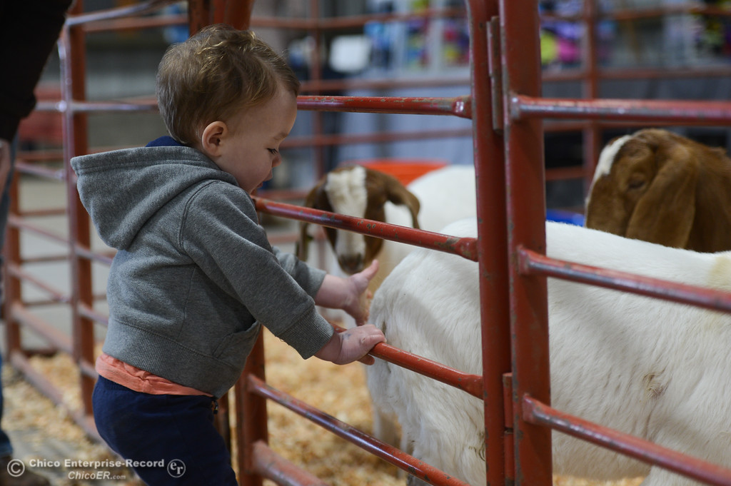 . Jackson Van Arsdale tries to pet lambs during Chico State Farm\'s Sheep and Goats Education Day, Saturday, February 10, 2018, in Chico, California. (Carin Dorghalli -- Enterprise-Record)