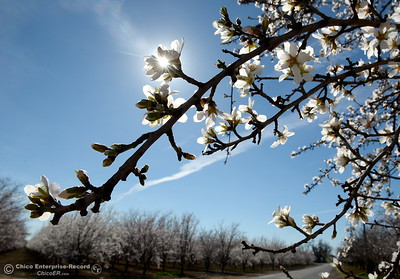 bees buzz around almond blossoms on trees seen along Roble Rd. in Durham, Calif. Thurs. Feb. 8, 2018. (Bill Husa -- Enterprise-Record)