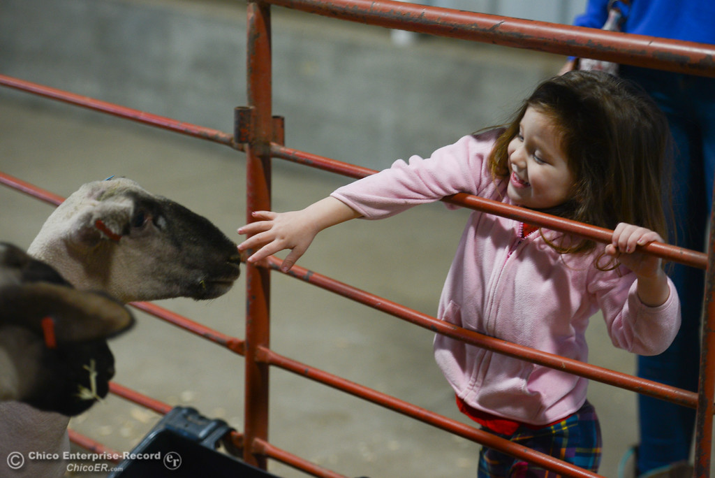 . Alexandria Cooper tries to pet goats during Chico State Farm\'s Sheep and Goats Education Day, Saturday, February 10, 2018, in Chico, California. (Carin Dorghalli -- Enterprise-Record)