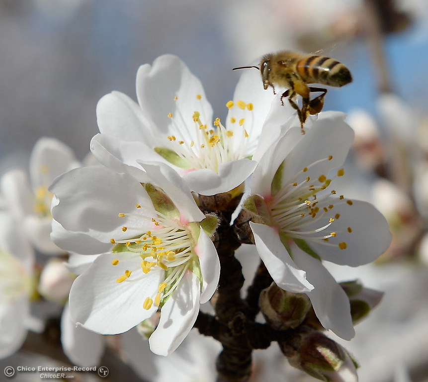 . bees buzz around almond blossoms on trees seen along Roble Rd. in Durham, Calif. Thurs. Feb. 8, 2018. (Bill Husa -- Enterprise-Record)