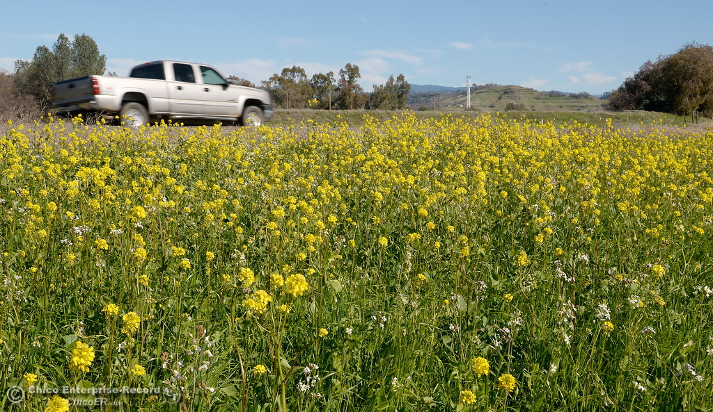 . A pickup drives along Durham Pentz Road past a field of wildflowers near the Butte College campus Friday Feb. 16, 2018. (Bill Husa -- Enterprise-Record)
