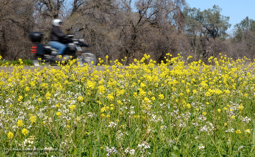 . A motorcyclist rides along Durham Pentz Road past a field of wildflowers near the Butte College campus Friday Feb. 16, 2018. (Bill Husa -- Enterprise-Record)