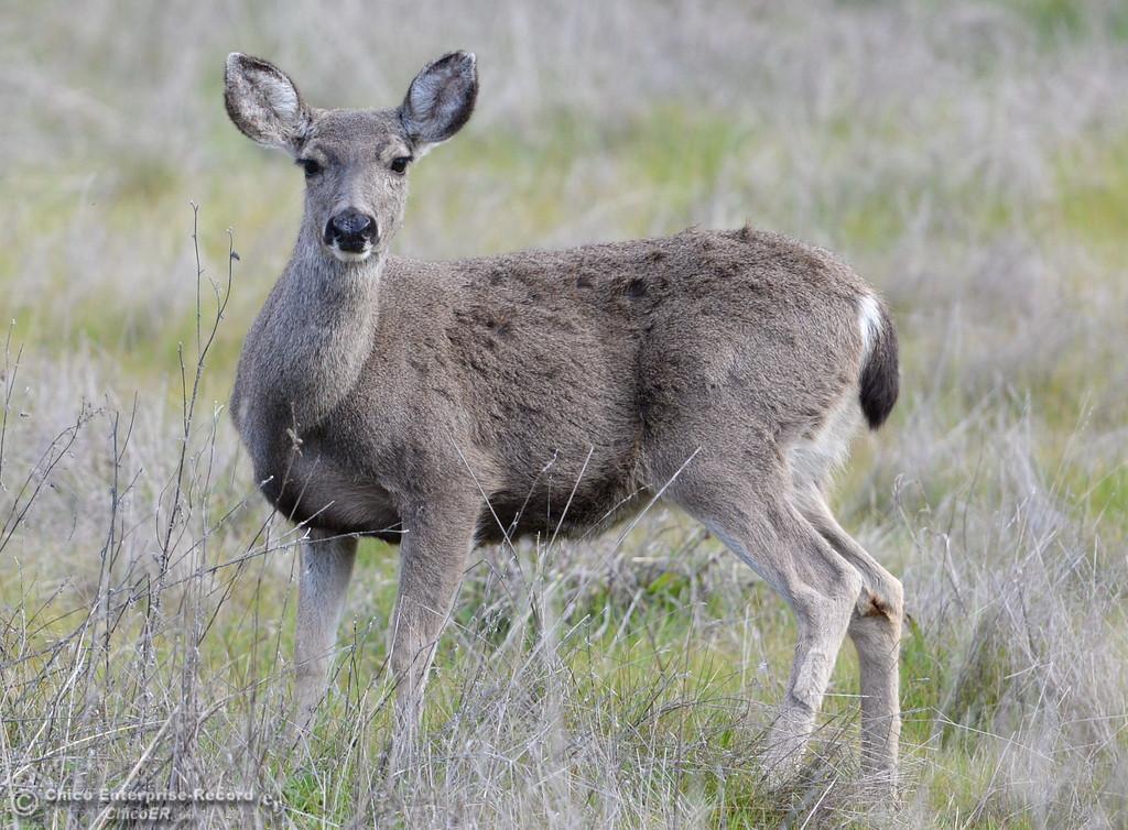 . Deer seen along Honey Run Road during a drive around Paradise, Calif. Sunday Feb. 18, 2018.  (Bill Husa -- Enterprise-Record)