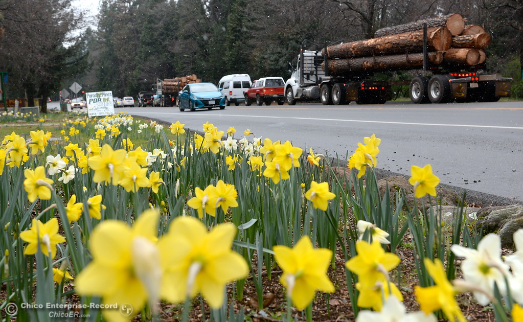 . Snow flurries around logging trucks and other drivers on Skyway in Magalia as they wait for an accident to clear near the Magalia Reservoir Feb. 22, 2018.  (Bill Husa -- Enterprise-Record)