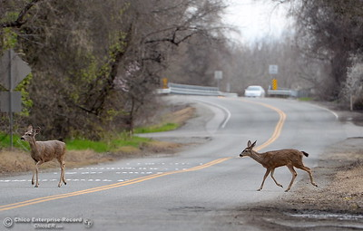 Deer Crossing-  A couple of does cross River Road in Chico, Calif. Friday March 9, 2018. (Bill Husa -- Enterprise-Record)
